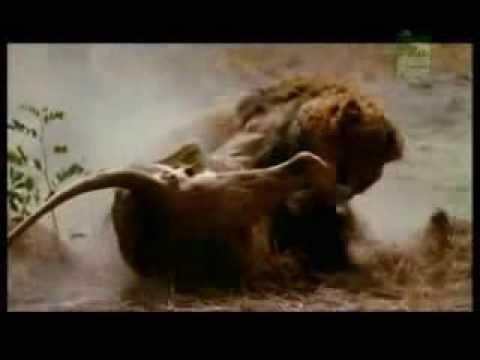 Aslan dövüşü - iki erkek aslanın müthiş kapışması