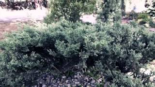 #5893, Pequeño bonsái se mueve con el viento [Efecto], Plantas ornamentales