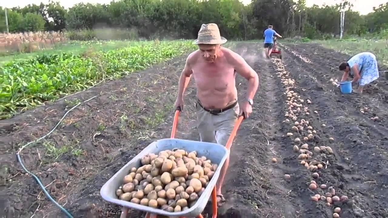 Сажать картошку с покойником 74
