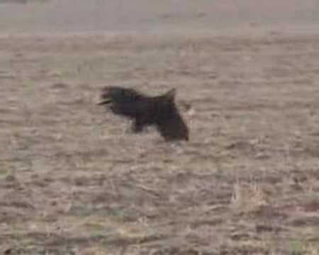 Deer Hunting HAWK Hunts a Deer Video