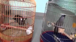 Songbirds & Birds of prey   Khướu bạc má hót hay & trận đấu 10 phút của 2 em
