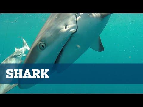 Shark Fishing; Fishing For Sharks In Florida