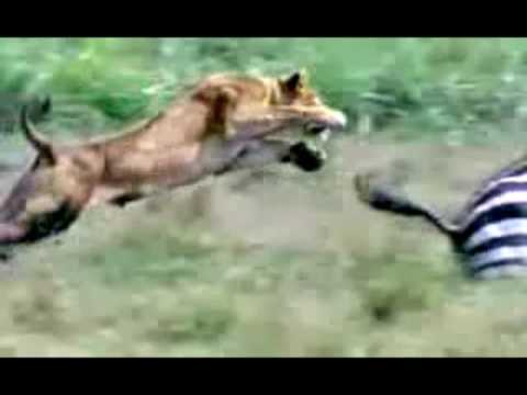 Lioness Hunt - Leaping Attack!