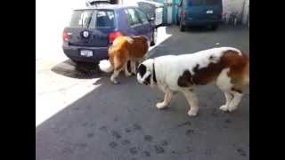 Many St. Bernard Dogs of my friends....Beethoven dogs are so cute