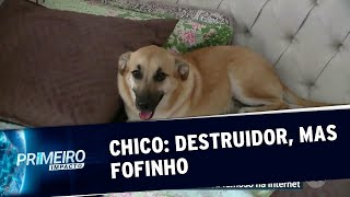 Cão Chico conquista a internet após destruir quarto da dona | Primeiro Impacto (24/07/19)