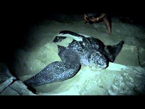 LEATHERBACK TURTLES of West Papua
