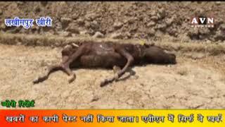 किसानों की बर्बादी की वजह बन चुकी योगी के जानवरों की फौज - avn news