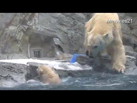 助けて!お母さん〜水に落ちたこぐま~Help me! Polar Bear cub can't swim yet