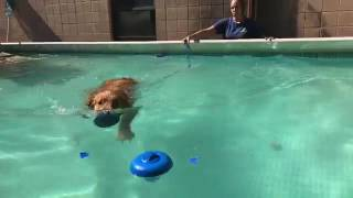 Training | Bennett's first time swimming | Solid K9 Training Dog Training