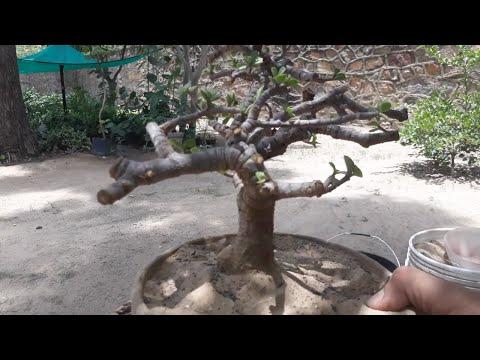 How to make bonsai from nursery stock !! jade/Crassula ovata bonsai ! care and tips of bonsai