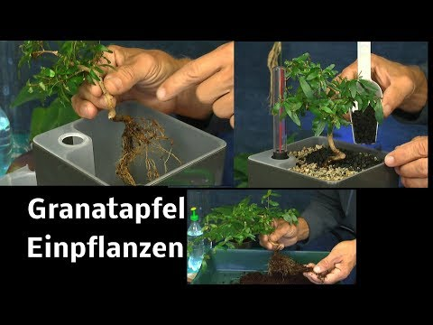 Granatapfel Bäumchen Punica granatum Nana umtopfen in Hydrokultur