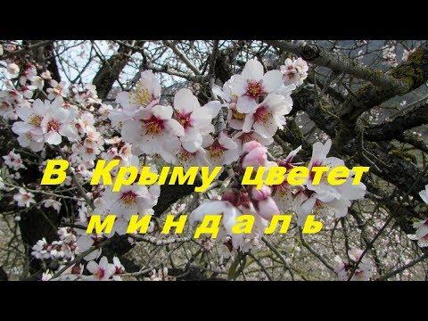 Весна 2018 в Крыму, цветущий миндаль