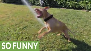 Smart Pit Bull learns how to use garden hose