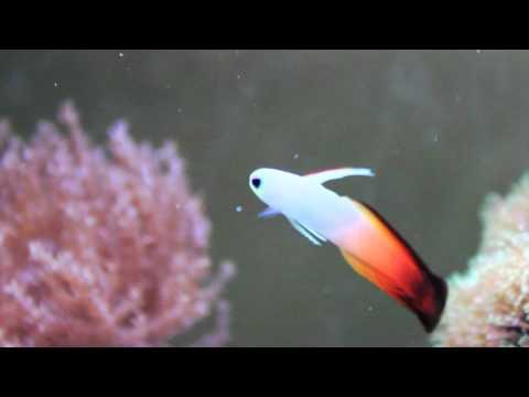 Species Spotlight Season 2 - (We Didn't Start The) Firefish - Episode 4