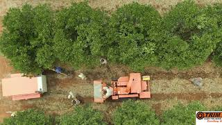 Drone footage of machinery trimming Orange trees. TrimCut