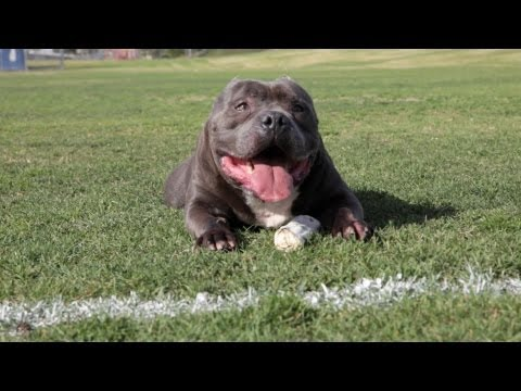 Excalibur The $63,000.00 Dog - American Bully Kennel - De La Loma Bullies video