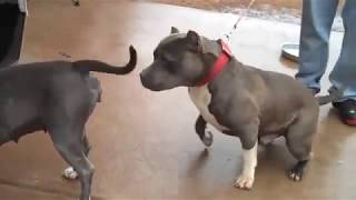 Pitbulls Breeding ( Top 2018 )