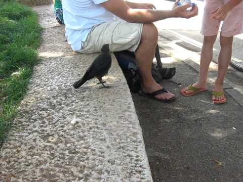 A Very Smart Bird - Thirsty Crow Comes To Humans For Help video