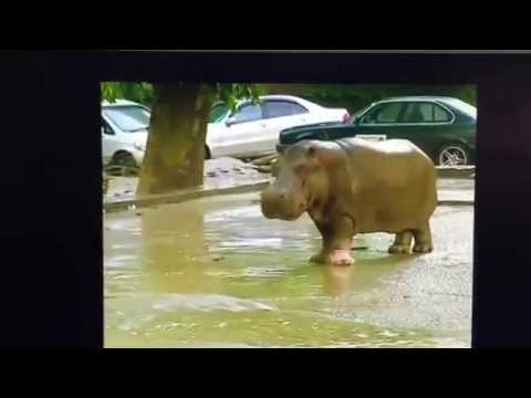 #DASHCAMDEETS: Zoo animals run wild after major flooding / 2 sharks attacks in 1 day in NC