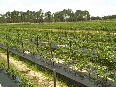 Growing Strawberries Vertically And Hydroponically Also