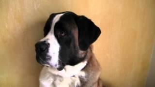 FUNNY DOG HUGE ST BERNARD