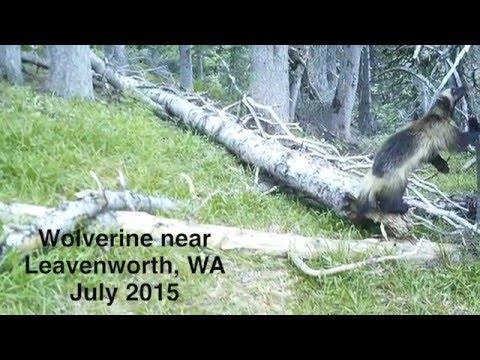 Wolverine Frolicking Near Leavenworth  | Citizen Wildlife Monitoring Project
