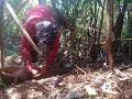 Cara menangkap babi hutan di sul-sel luwu timur.
