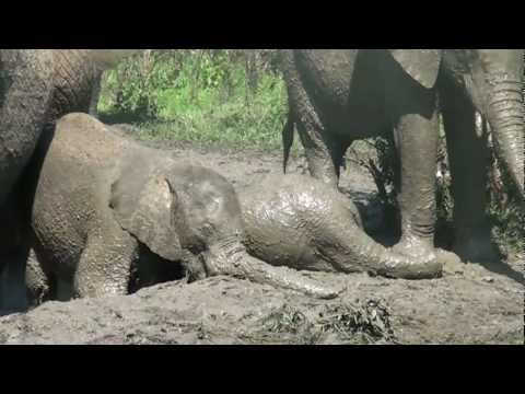 Fun in Hluhluwe Umfolozi mud bath with starring role for baby elephant