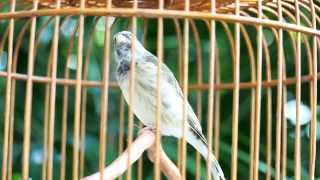 Burung Master : Blackthroat Super Gacor