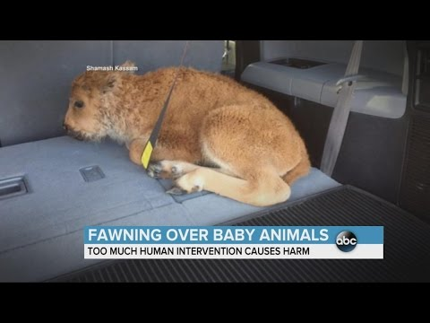When Intervening In Nature Causes More Harm Than Good | ABC News