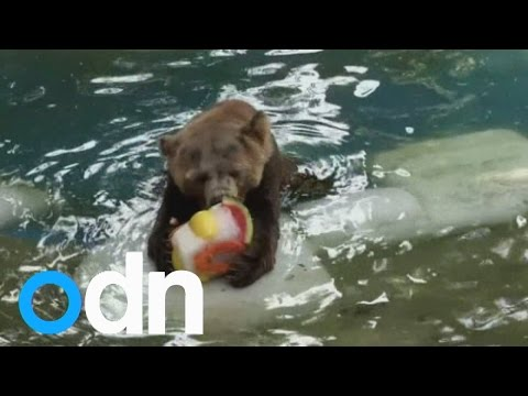 CUTE: Zoo animals enjoy ice lollies to cool off from Brazil summer