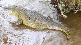 Massive Monster Crocodiles feeding & fighting at Kruger Gate
