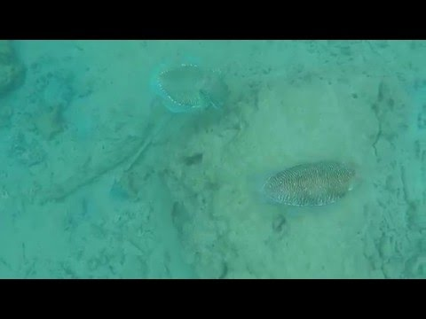 Cuttlefishes while snorkeling in Pulao Kapas, Malaysia (Apr '16)