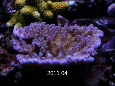 Header of Acropora solitaryensis