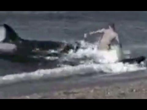 KILLER WHALES EAT MAN ON BEACH