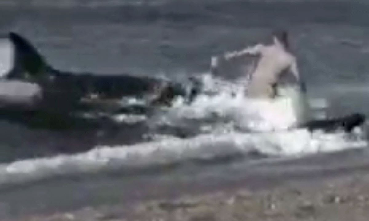 Hoax Man Killer Whale Killer Whales Eat Man on Beach