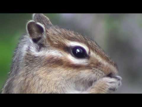 Брундук кушает кедровую шишку - Няшка