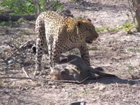 Spectacular leopard hunt and kill in Botswana