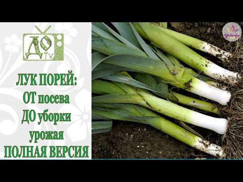 Выращивание лука порея в Московской области – поделюсь опытом