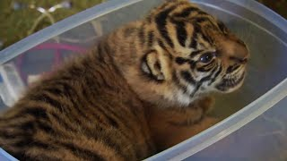 Handraising Twin Tiger Cubs | Tigers About The House | BBC