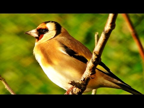 Goldfinch Bird Song and Sounds Relaxation Video - One Hour of Beautiful Goldfinches Singing