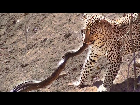 Leopard Attacks Python in Kruger - 3rd September 2012 - Latest Sightings