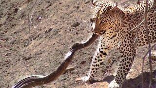 කොහමද මේ වලිය කවුරු දිනයිද බලන්නකෝ  Leopard Attacks Python in Kruger