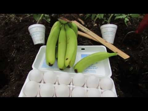 1 of 2 Using a Whole Egg and Banana to Fertilize a Tomato: Join Me - The Rusted Garden 2013
