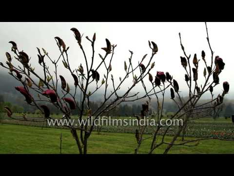 Magnolia flowers bloom in Tulip Garden, Srinagar