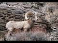 Mature Bighorn Rams In The Canyons Near Bishop CA