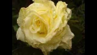 """Blacksheep806,..""""Sound Of An Angel"""",..""""August Blooms,..2012""""."""