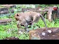 Young mother monkey and baby catch Locusts Youlike Monkey 1064
