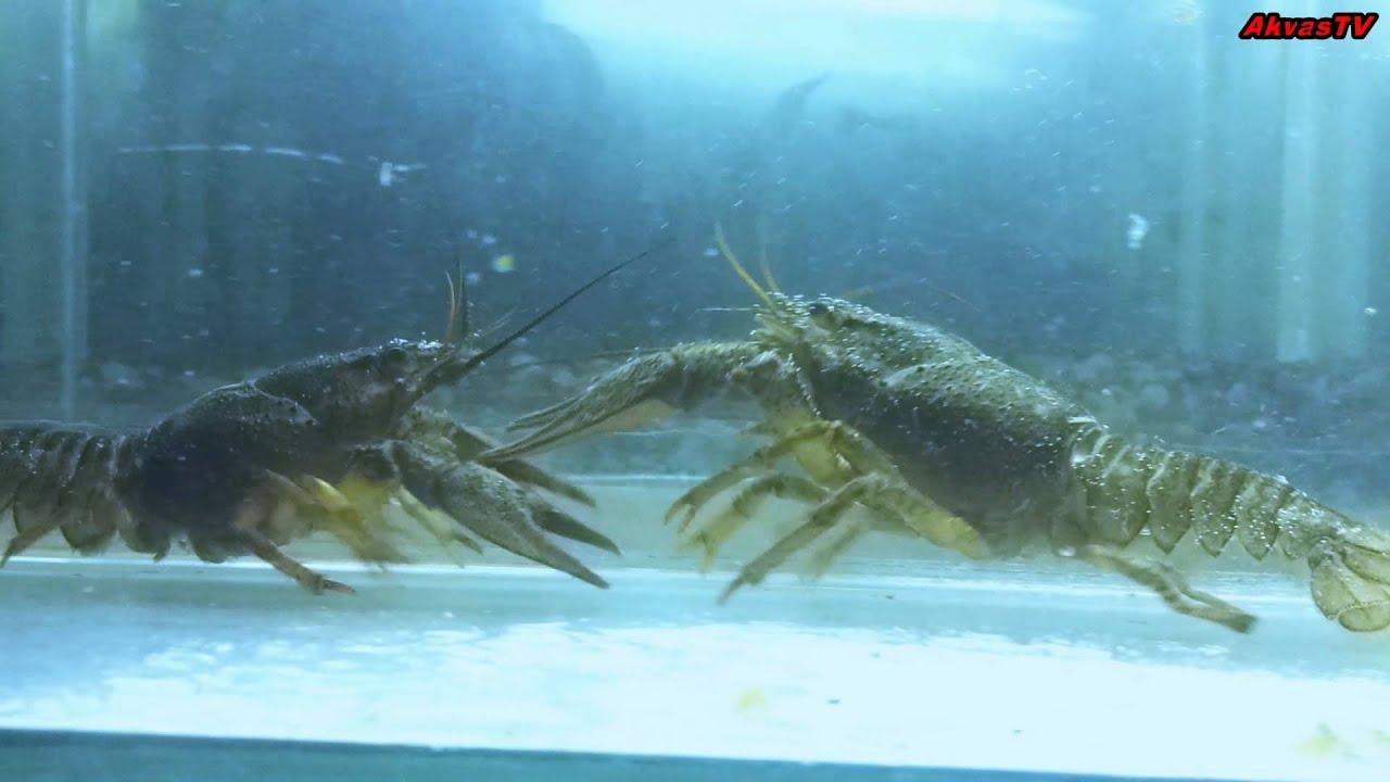 Как содержать аквариумных раков в домашних условиях