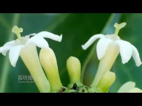 南海指環 東沙的海漂植物